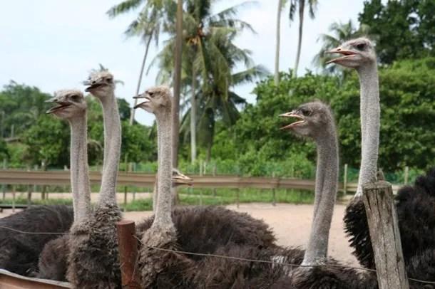 Ladang Burung Unta Johor