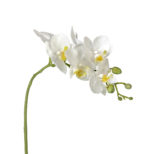 orchid phal