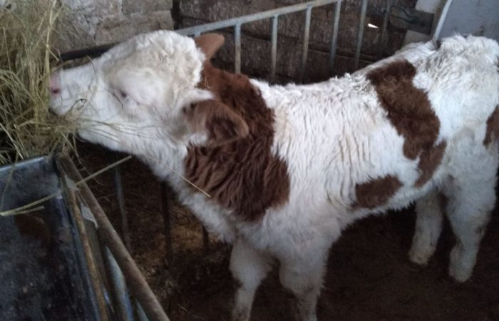 bestiame_in stalla