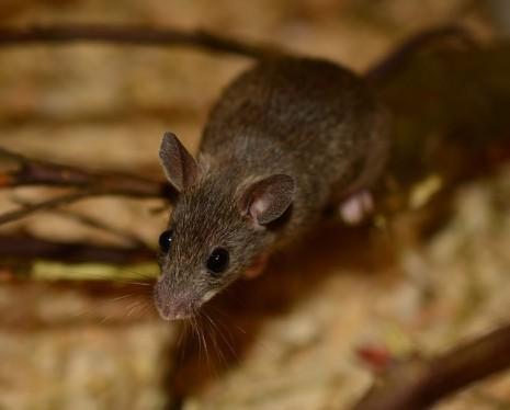 تفسير رؤية الفأر الاسود والابيض والجرذان في المنام والحلم