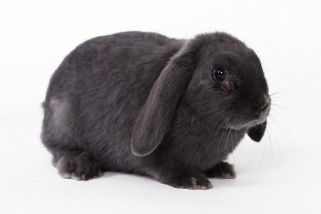 تفسير حلم رؤية الأرنب الأبيض الأسود البني في المنام