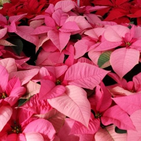 #mars #pink #poinsettia