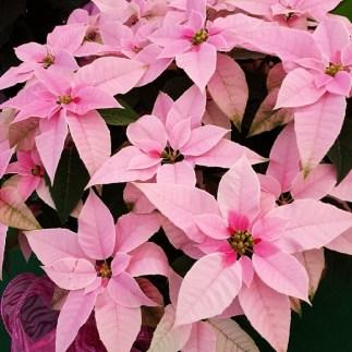 #Princettia #Pink