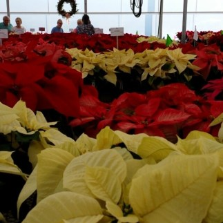 #commentary on #poinsettia