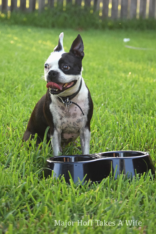Dogs need extra water during the summertime heat.