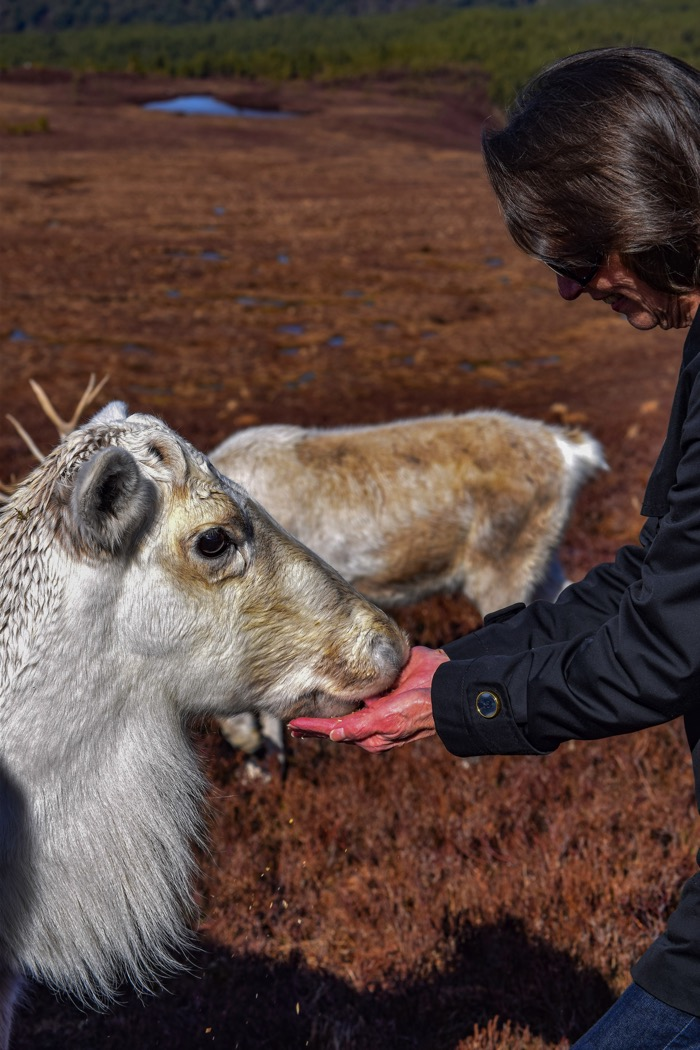 Reindeer eating out of your hand