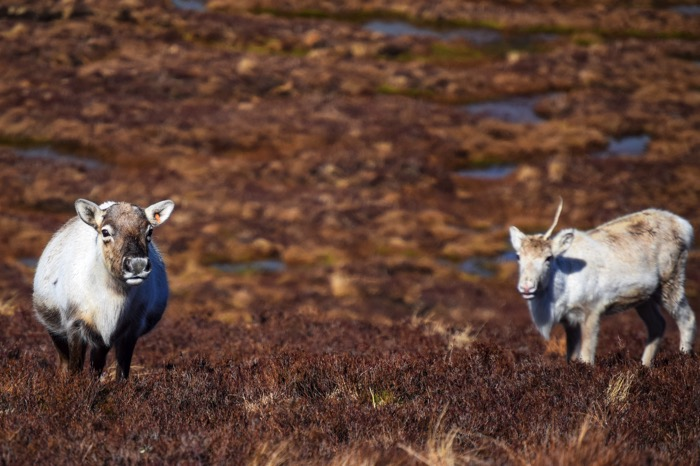 Reindeer feeding in Scotland