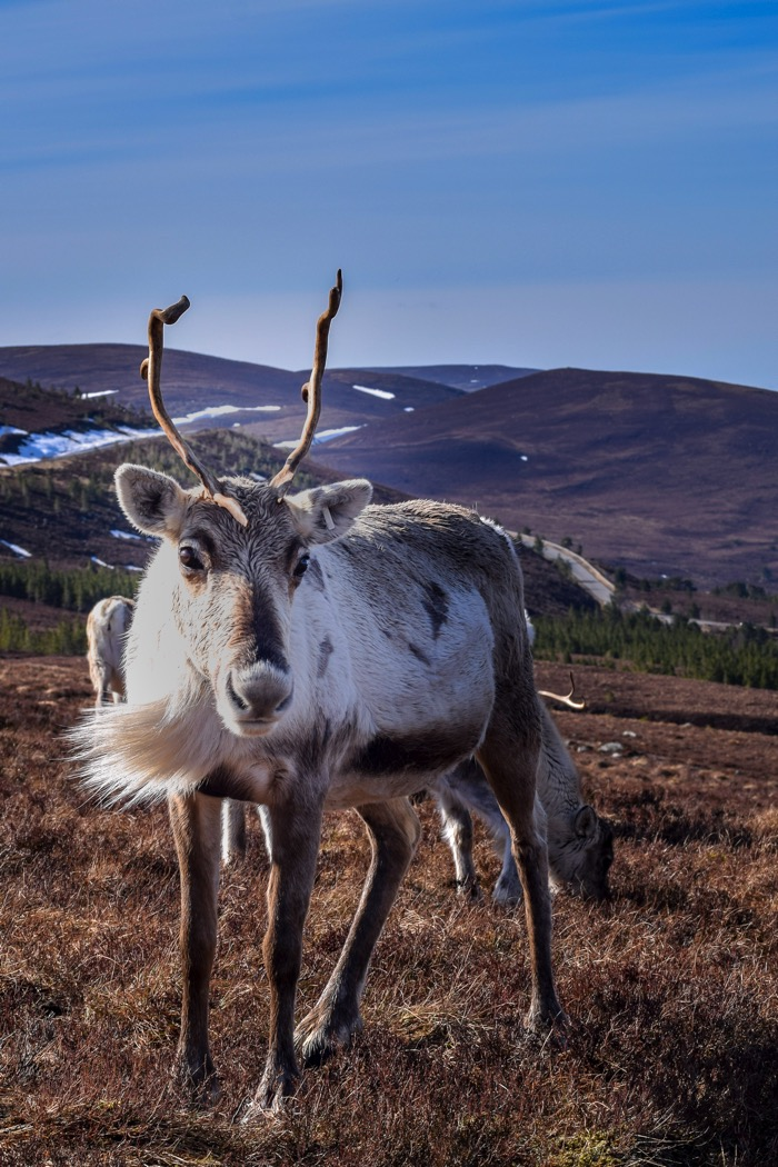 Things to do in Scotland includes feeding Reindeer at the Cairngorm Reindeer Centre