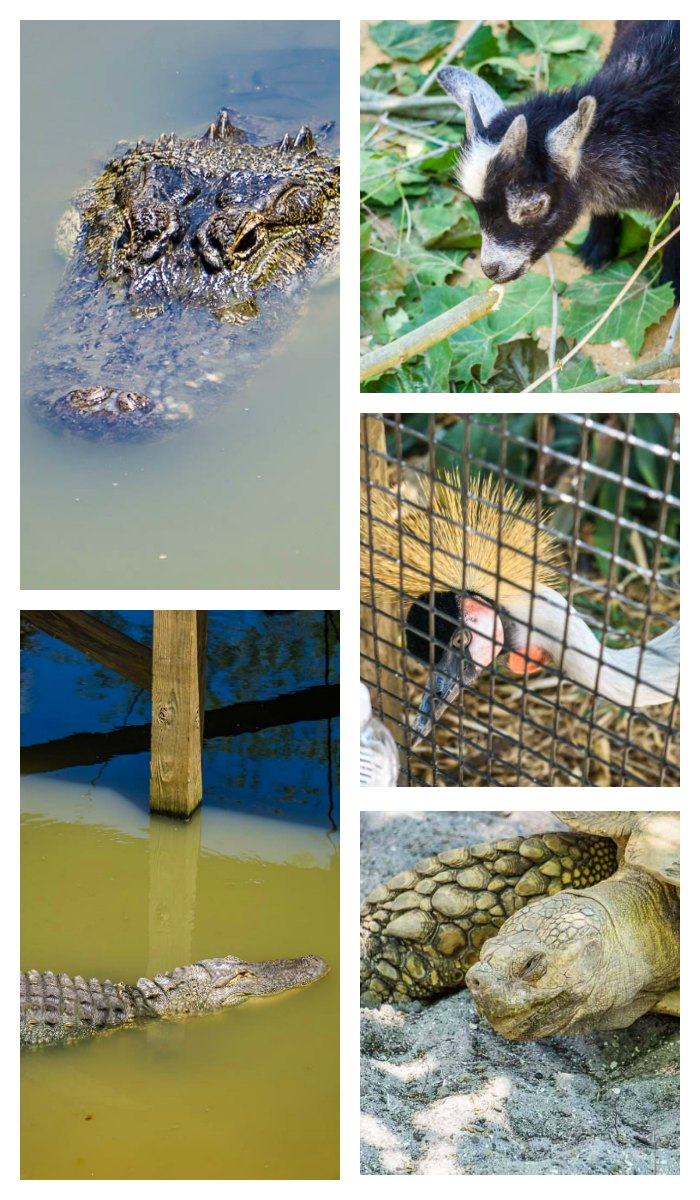 Wild Florida Gator And Wildlife Park