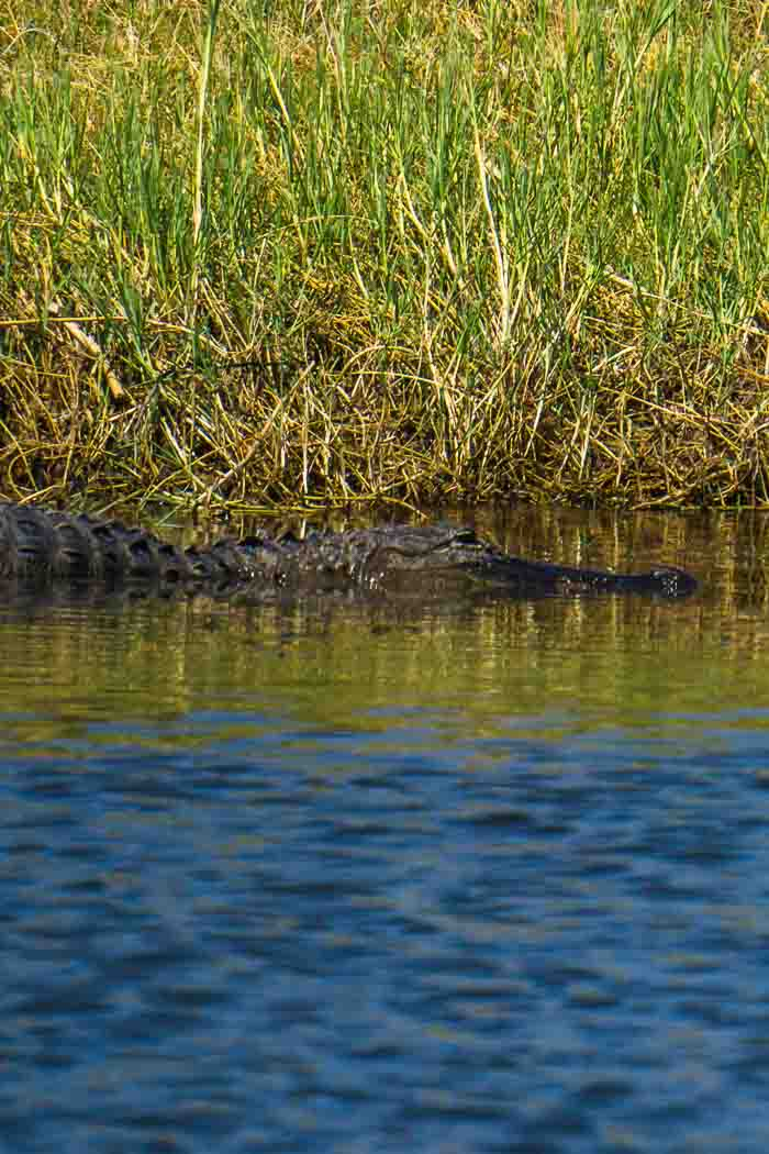 alligator spotting Wild Florida