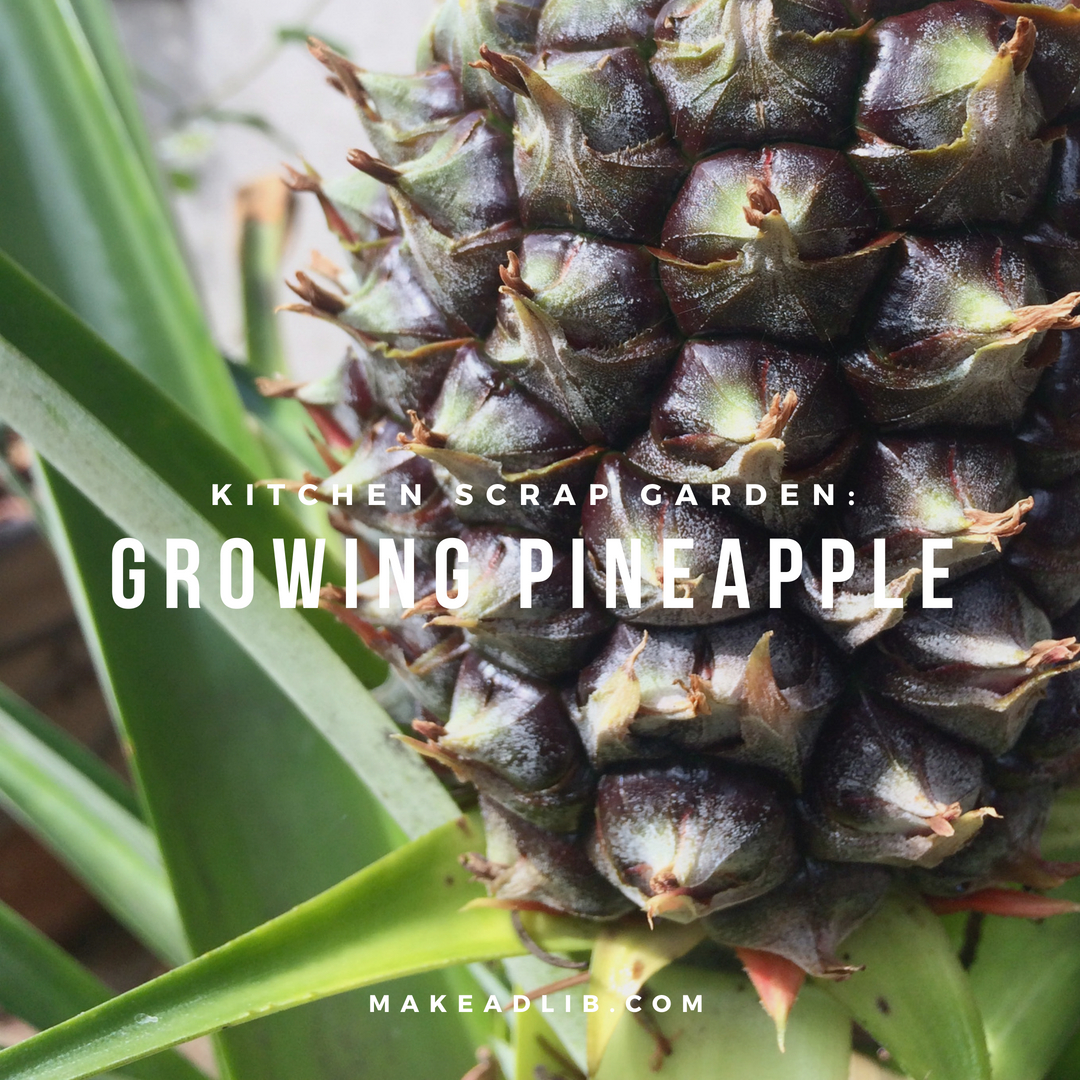 Kitchen Scrap Garden: Growing Pineapple