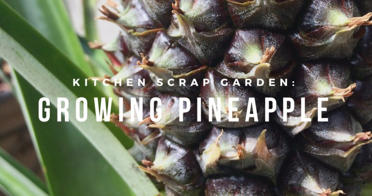 Kitchen Scrap Garden: Growing Pineapple
