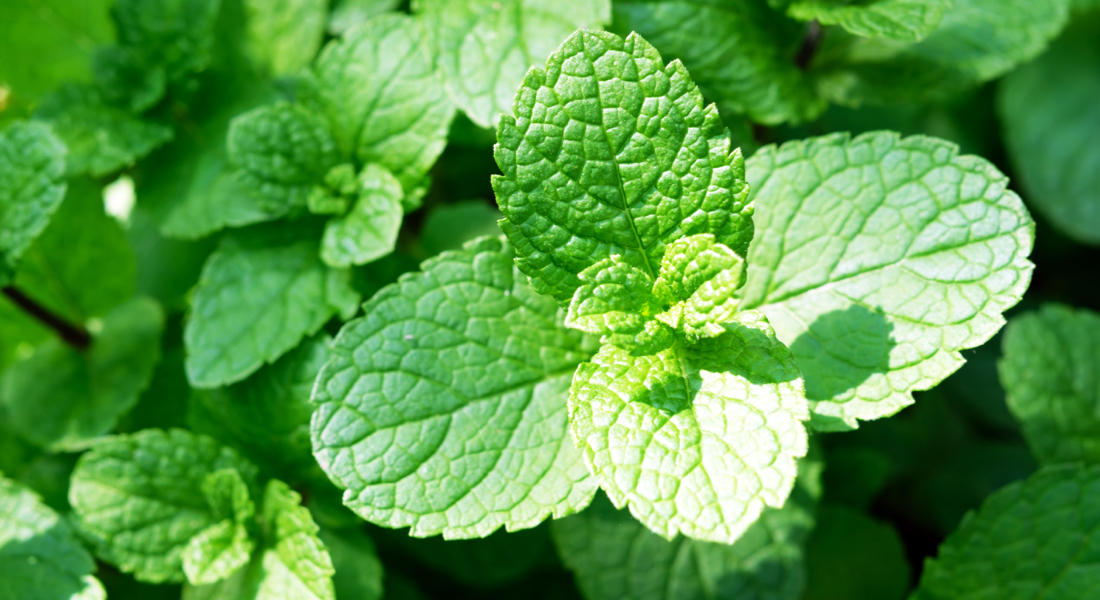 peppermint-essential-oil