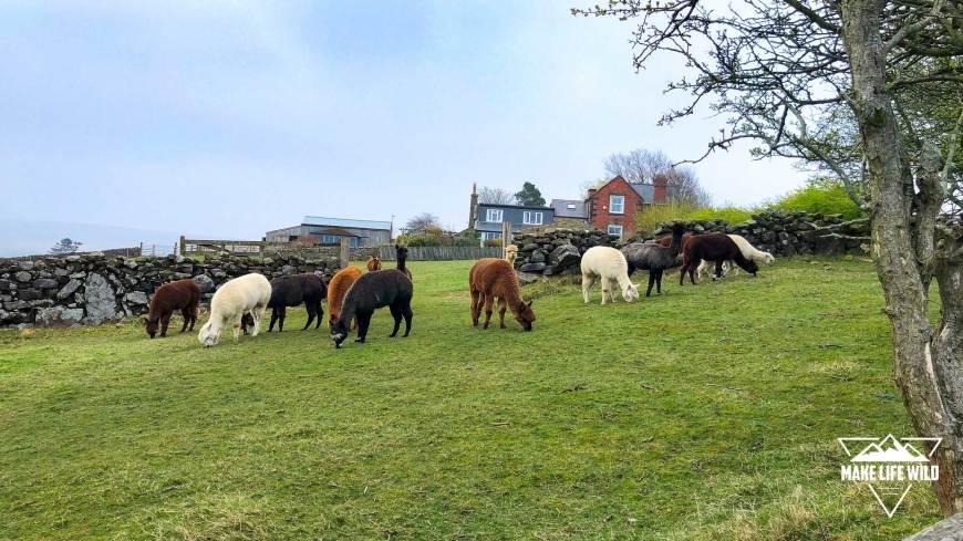 Alpacas near Goathland