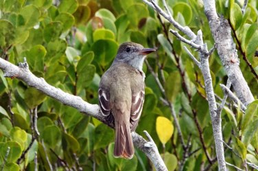 Great Crested Flycatcher.