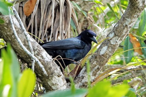 Boat-tailed Grackle.