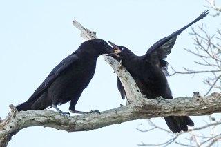 Fish Crow feeding another crow.