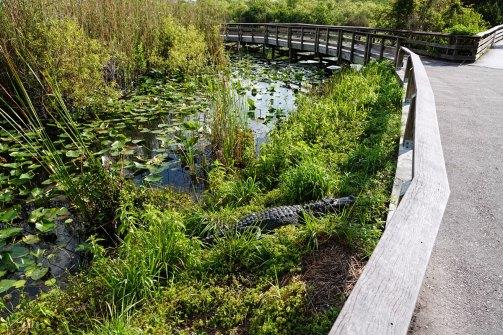 Alligator next to the sidewalk on the Anhinga Trail.