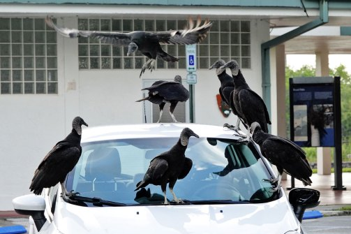 Black Vultures hanging out on a car in the early morning.
