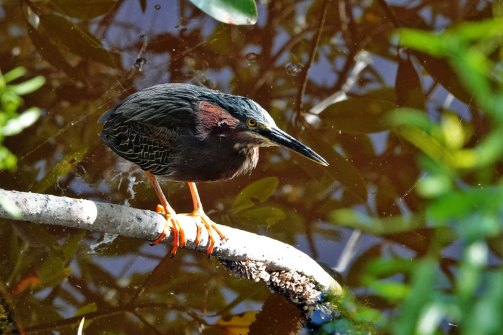 Green Heron at the Welcome Center.