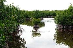 Mangrove bushes in the marsh.