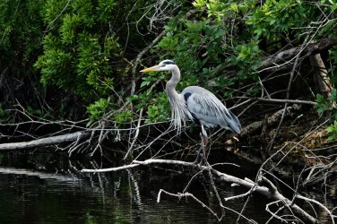 Great Blue Heron at the H. P. Williams Roadside Park.