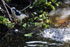 Black-crowned Night-heron. watches fish splashing in the water.