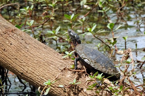 Northern Red-bellied Cooter.