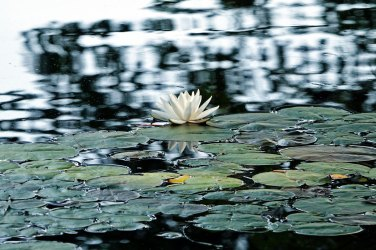 American White Waterlily.