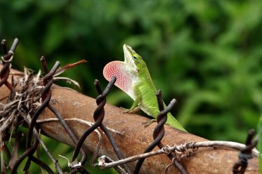 Like this Green Anole.