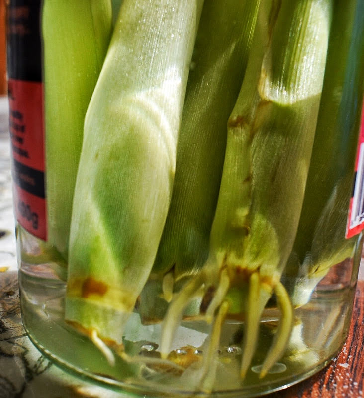 growing lemongrass - rooting