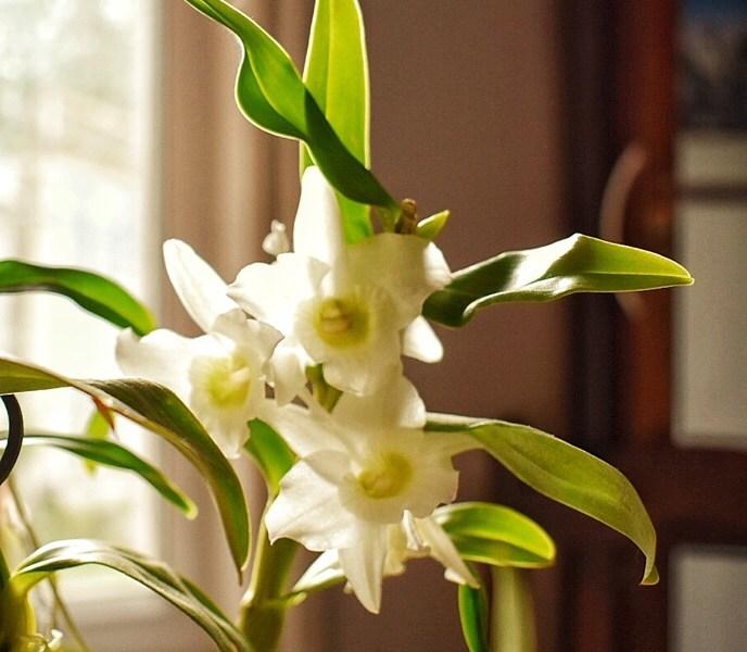Orchid tempura