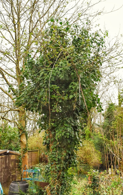 elderberry tree covered with ivy