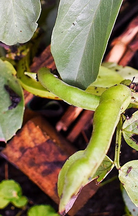 broad bean pod on plant
