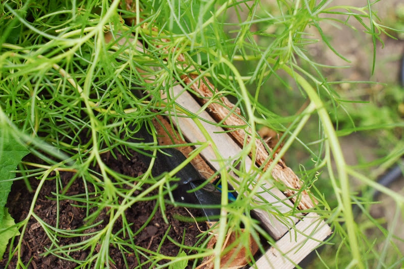 growing and harvesting agretti salsola