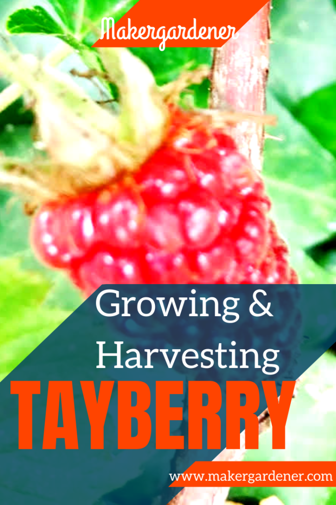 growing and harvesting tayberry