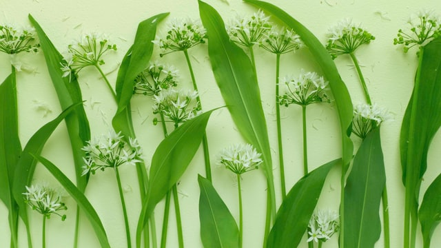 Growing and harvesting wild garlic
