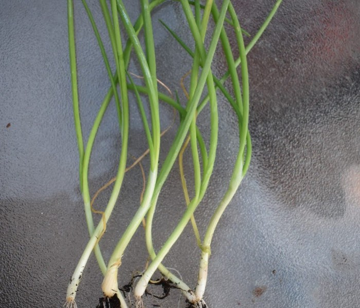 Growing and harvesting spring onion