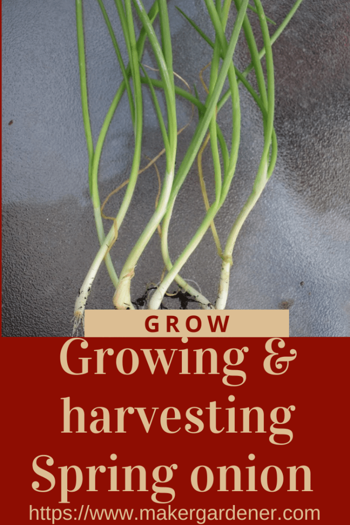 Gorwing and harvesting spring onion