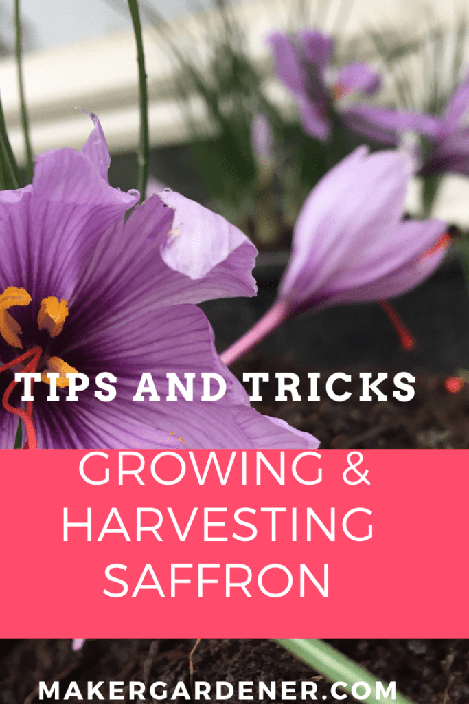 growing and harvesting saffron