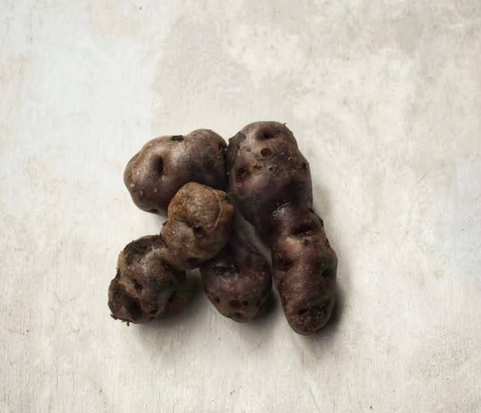 Growing and harvesting purple Vitelotte potatoes