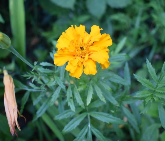 Growing and harvesting Marigold