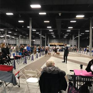 Good evening from the bigapplesportingsociety dogshow vizsla juniorshowmanship americankennelclub