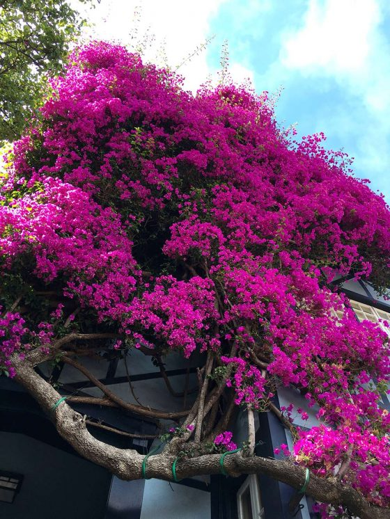 lombard flowers