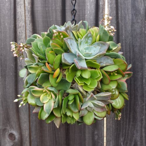 How to make a Topiary Succulent Ball
