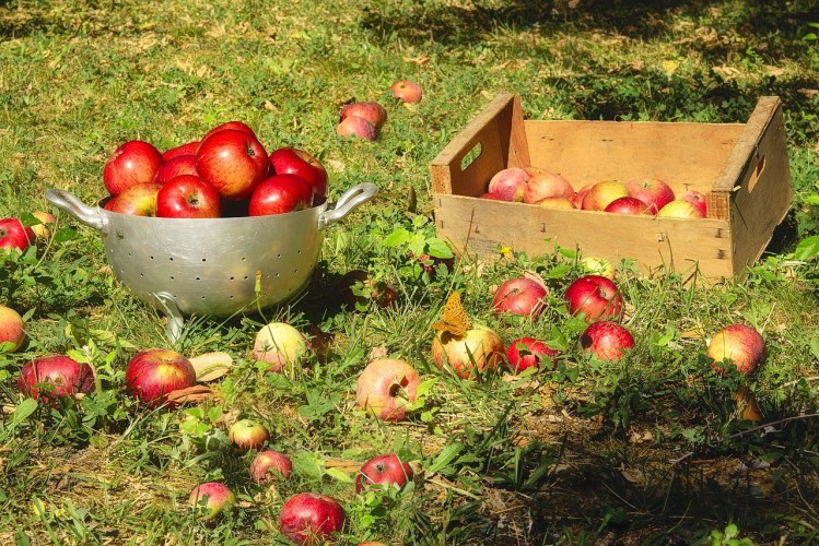 apple-picking-in-fall