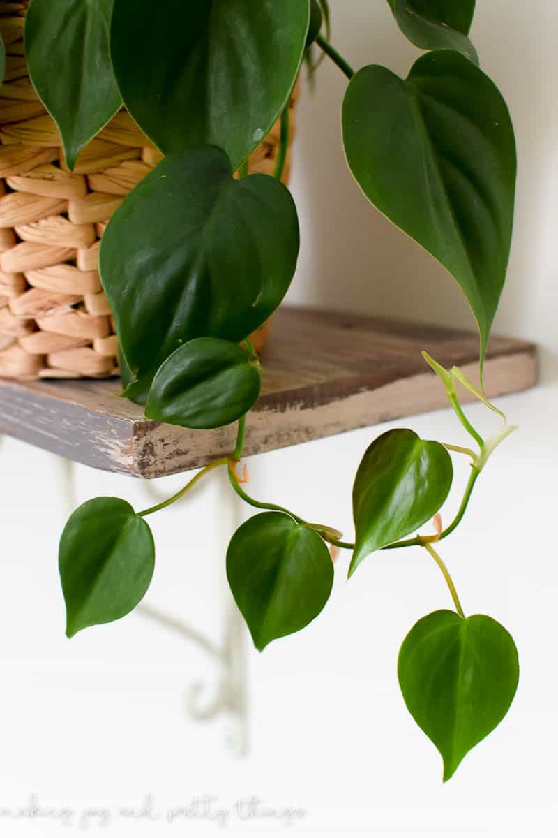 philodendron | black thumb plants | black thumb gardening | indoor plants | indoor plants decor | indoor plants low light | philodendron care | philodendron plant | green thumb | plant lady | houseplants | easy house plants