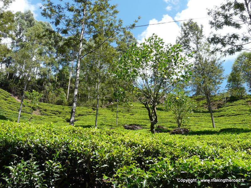 visiter sri lanka sans voiture hapitale champ de thé