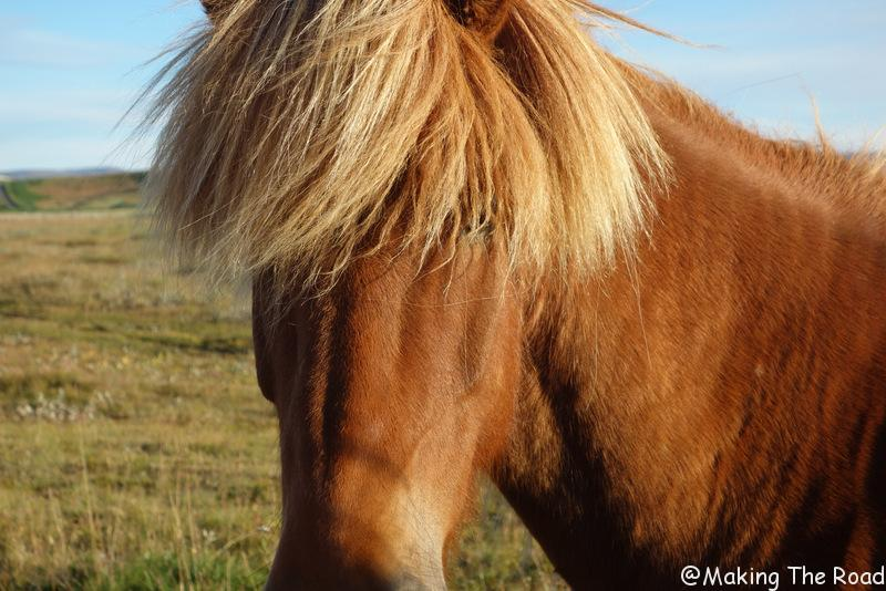 Kópasker cheval islande