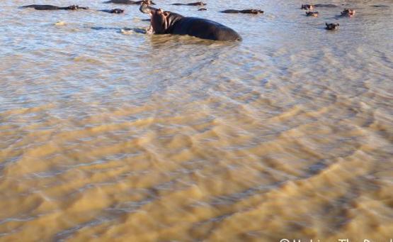 voir des hippopotames safari afrique du sud st lucia